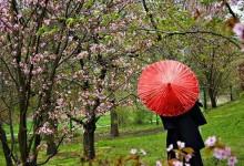 Hanami : I ciliegi in fiore a Marzahn