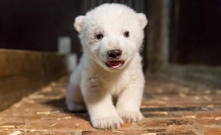 Diamo un nome all'orso polare del Tierpark