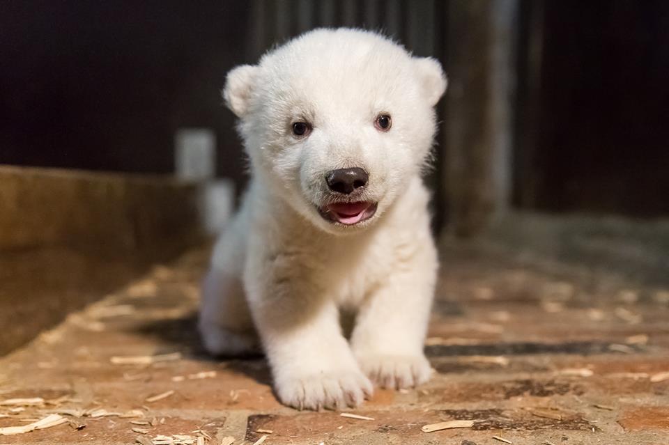 orso polare del tierpark