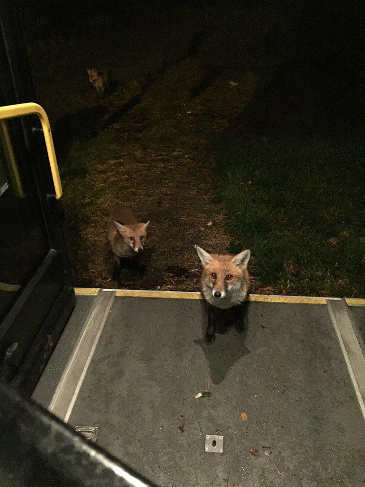 volpi prendono il bus