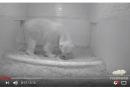 Al Tierpark si festeggia la nascita di un orso polare