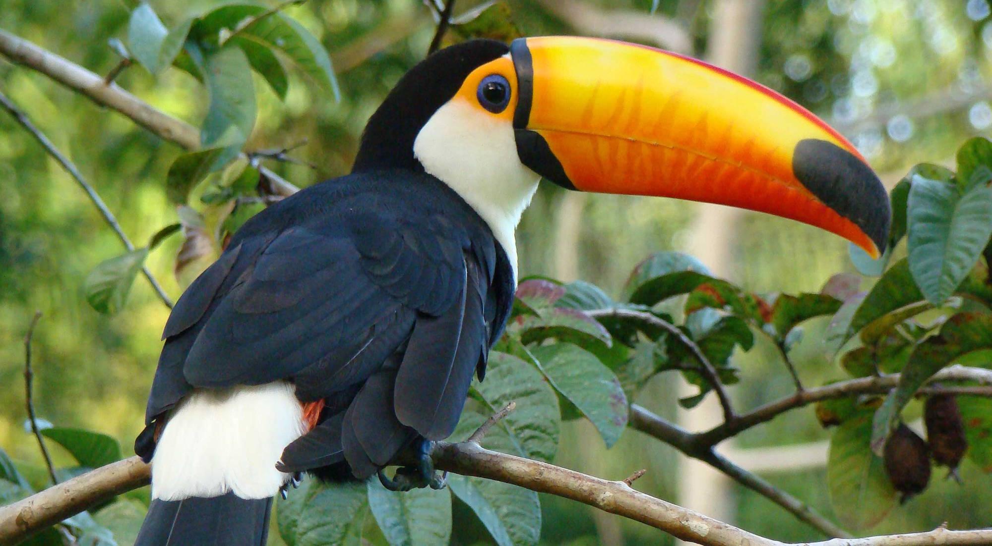 Fauna tipica del Roraima: un tucano