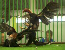 Combattimenti tra galli, alle Canarie sono legali