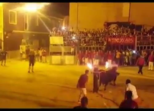 Foios, danno fuoco alle corna del toro l'animale si suicida – Video