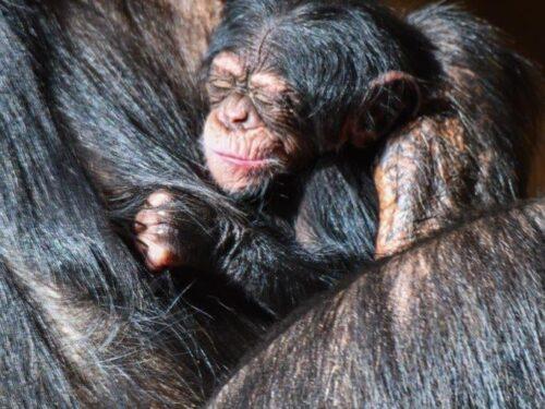 Al Loro Parque di Puerto de la Cruz è nato un cucciolo di scimpanzé!