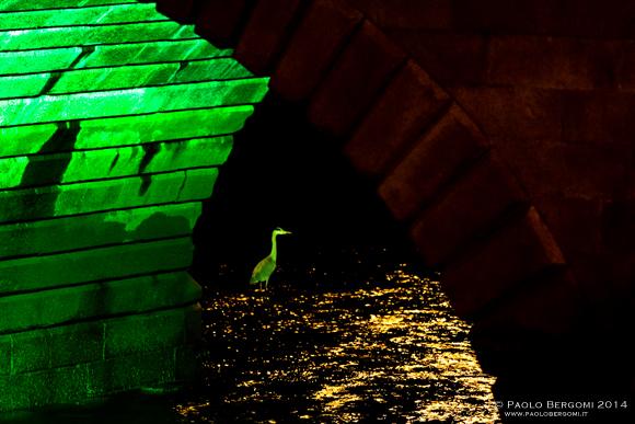 Airone nel Liffey e i giochi di luce verde di notte. (foto Paolo Bergomi)