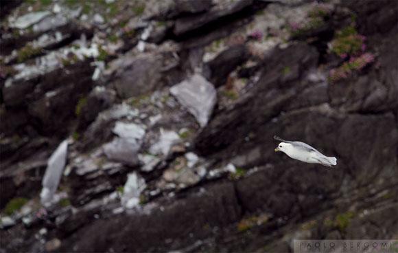 Gabbiano in volo tra le scogliere di Brow Head