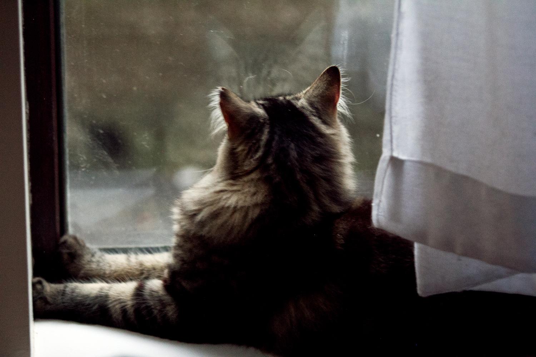 La mia gatta attende le volpi davanti alla finestra (23 Maggio 2019, foto di Paolo Bergomi)