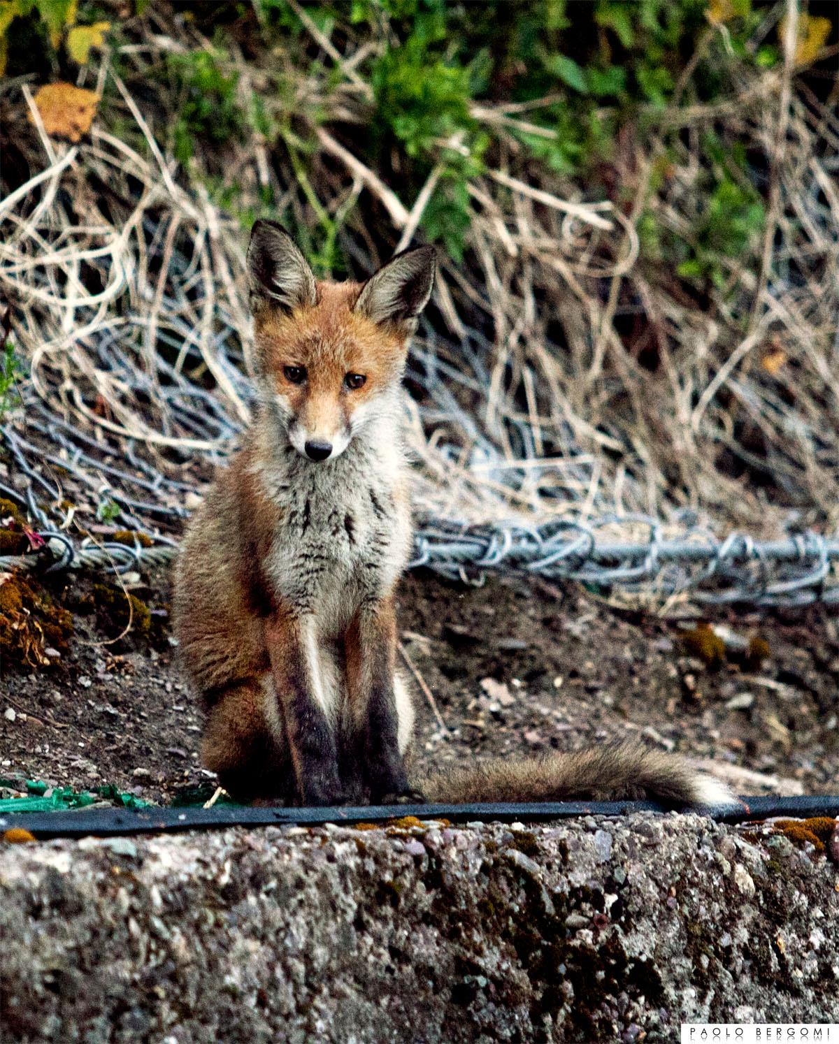 Una volpe vicina di casa socievole nella Contea di Cork, Irlanda