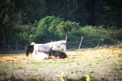 Bestiame -eremo di poggio conte