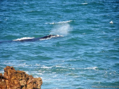 Sudafrica: Whale watching a Hermanus e Cape Aghulas