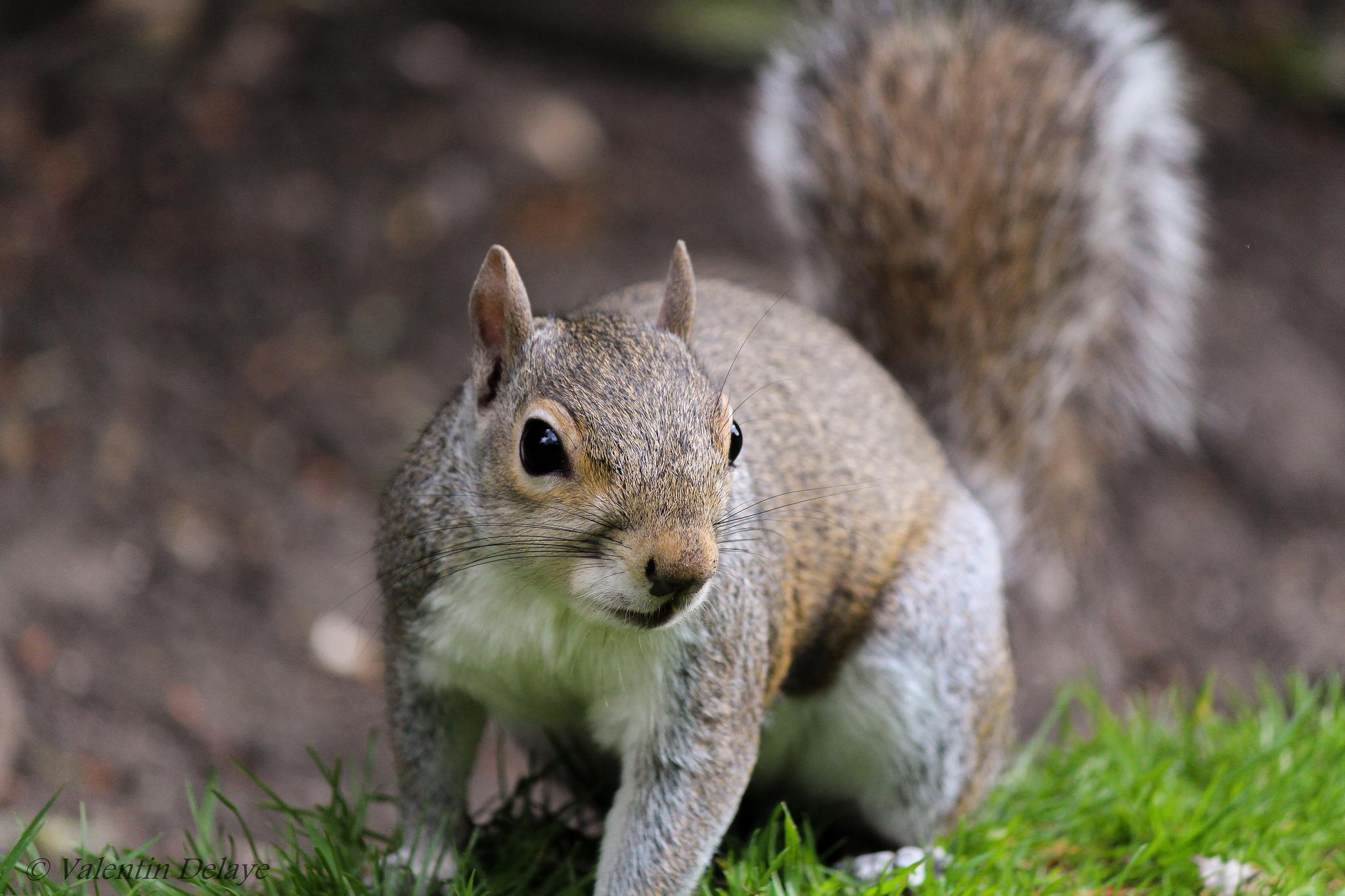 Squirrel by Valentin Delaye, on Flickr
