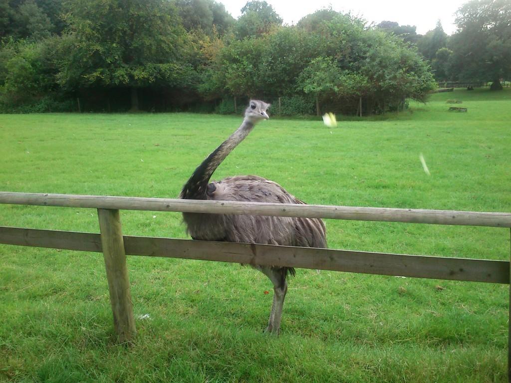 ostrich11