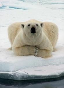Eclissi solare orso polare