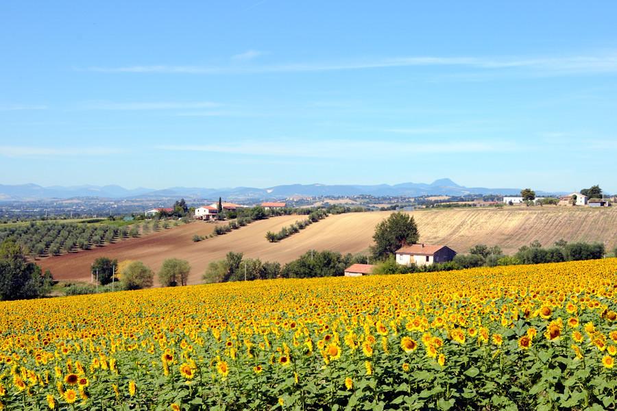 Marche - San Vicino e girasoli 900
