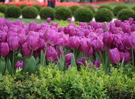 Il Festival dei tulipani a Istanbul (date 2015)