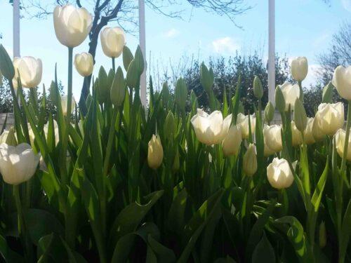 I tulipani di Istanbul 2016 (con foto)