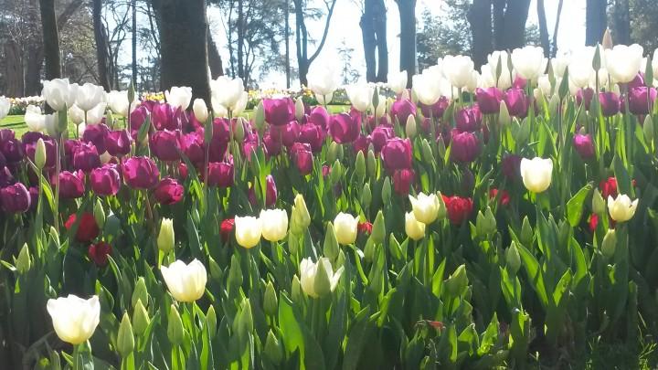 Tulipani201606