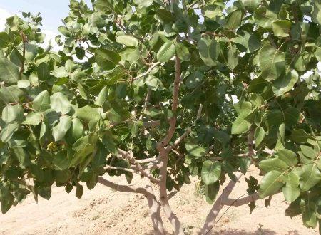 I pistacchi di Gaziantep