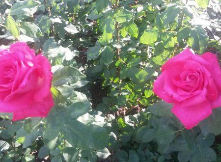 Tutte le rose di Istanbul