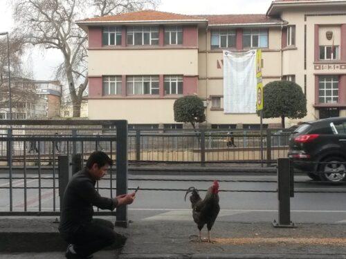 Un gallo nero a passeggio per Istanbul