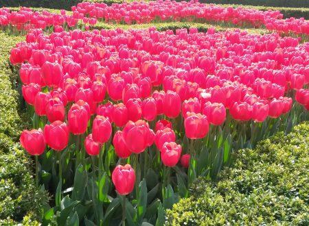 Spuntano (già) i primi tulipani a Istanbul